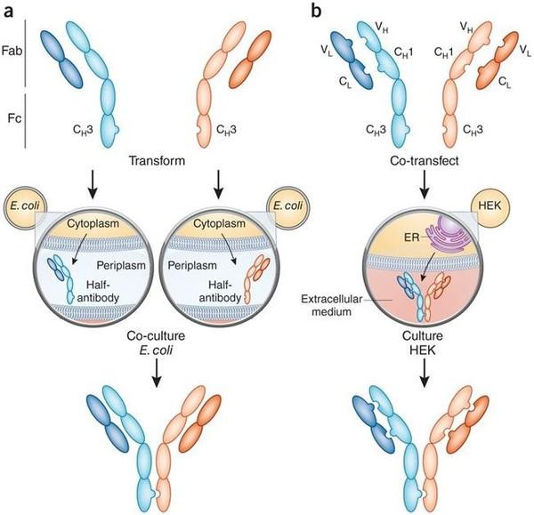 雙可變區免疫球蛋白制備服務.1.jpg