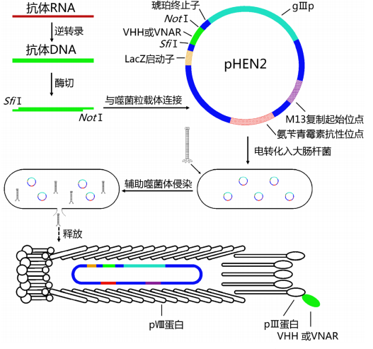 單域抗體文庫構建;Single Domain Antibody Library