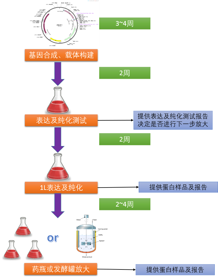 哺乳動物細胞蛋白表達系統;Protein Expression in Mamalian Cells