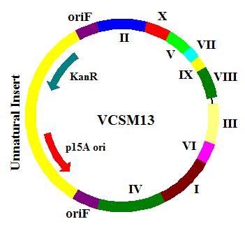 Phage Display & Antibody Library Services; 噬菌体展示&抗体文库服务