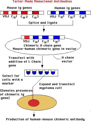 嵌合IgG抗體構建.2.png