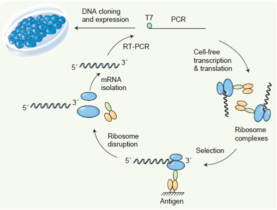 核糖體展示服務; Ribosome Display Service