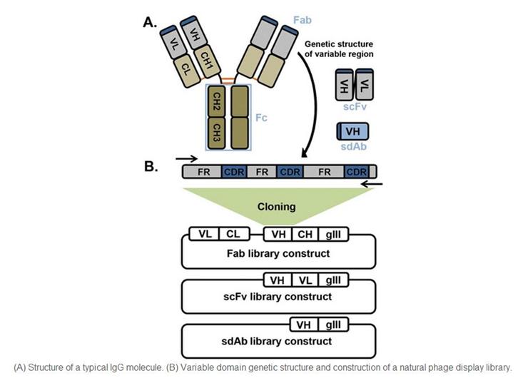 抗離子通道蛋白抗體制被服務(Anti-Ion Channel Antibody Production Service)