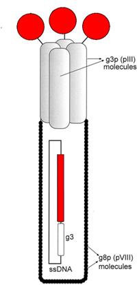 噬菌體展示技術