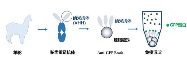 抗體糖納米粒標記.1.png