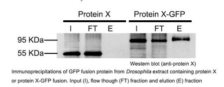 抗體糖納米粒標記.2.png