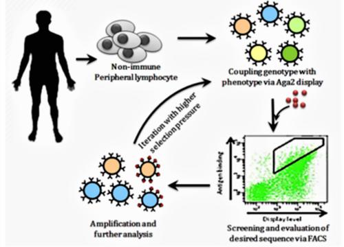 抗體親和力成熟.4.png