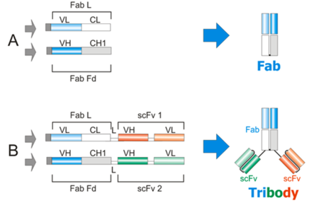 Fab-scFv融合蛋白(Tribody? Technology); Fab-scFv Fusion Protein (Tribody)