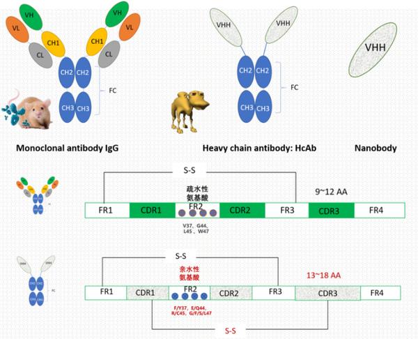 人源化纳米抗体制备.1.png