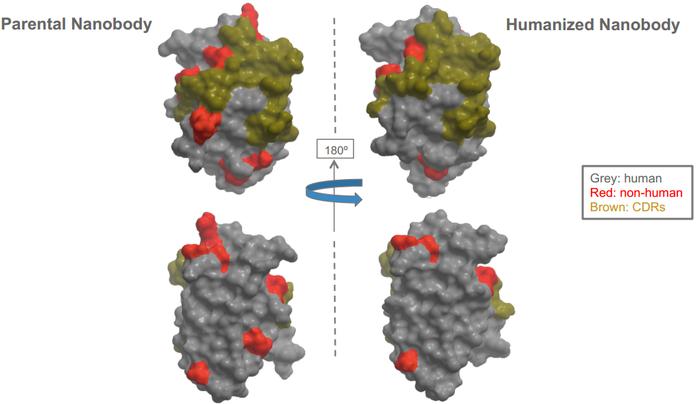 人源化纳米抗体制备.2.png