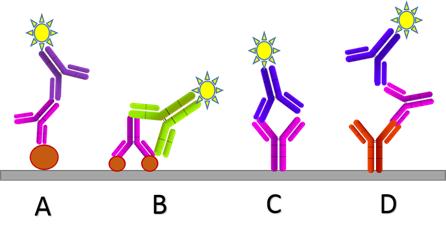 功能阻遏\專一型抗抗體制備(Interference Function/ Anti-idiotype Antibody Service)