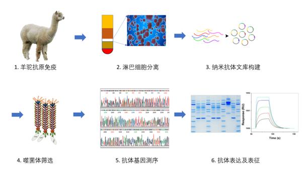 人源化纳米抗体制备.3.png