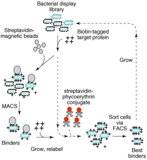 細菌表面展示技術; Bacterial Display Service