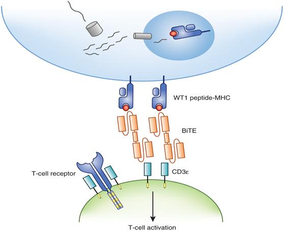 雙特異性T細胞銜接抗體; Bispecific T cell Engager (BiTE)