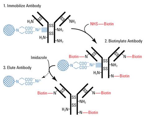 抗体生物素修饰; Antibody Biotinylation