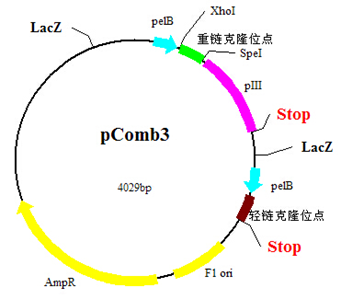 Phage Display & Antibody Library Services; 噬菌體展示&抗體文庫服務
