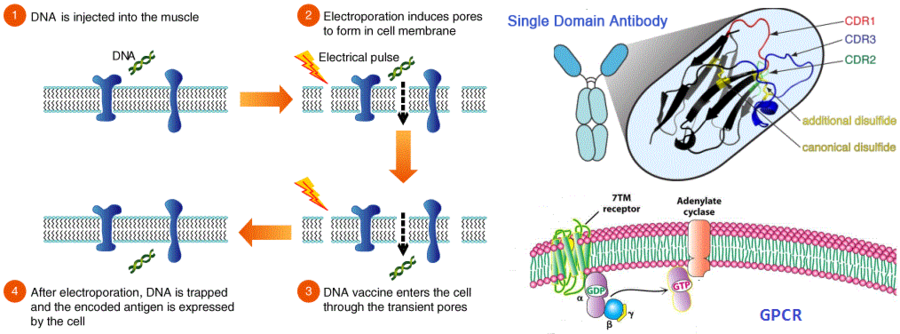DNA免疫技術制備膜蛋白納米抗體;Nanobody Discovery against Membrane Proteins by DNA Immunization