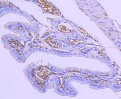 兔子单克隆抗体制备.2.png
